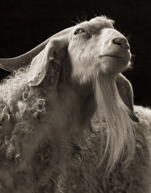 Dramatic Portraits Of Farm Animals Capture Them In A Different