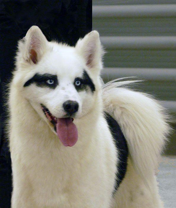 Yakutian Laika Russian Spitz He S Wearing A Mask Rare Dog Breeds Dog Breeds Spitz Dogs