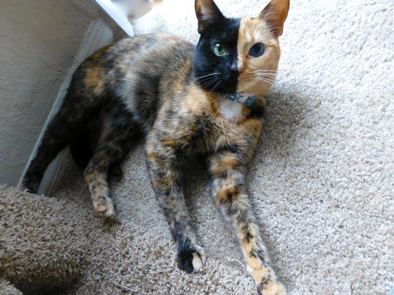 This Fiveyear Old Tortoiseshell Cat Not Only Has Two Different - This cat has the most amazing multi coloured eyes ever