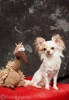 Gustav Geier Chihuahua Welpen Lustige Tiere Und Tier Fotos