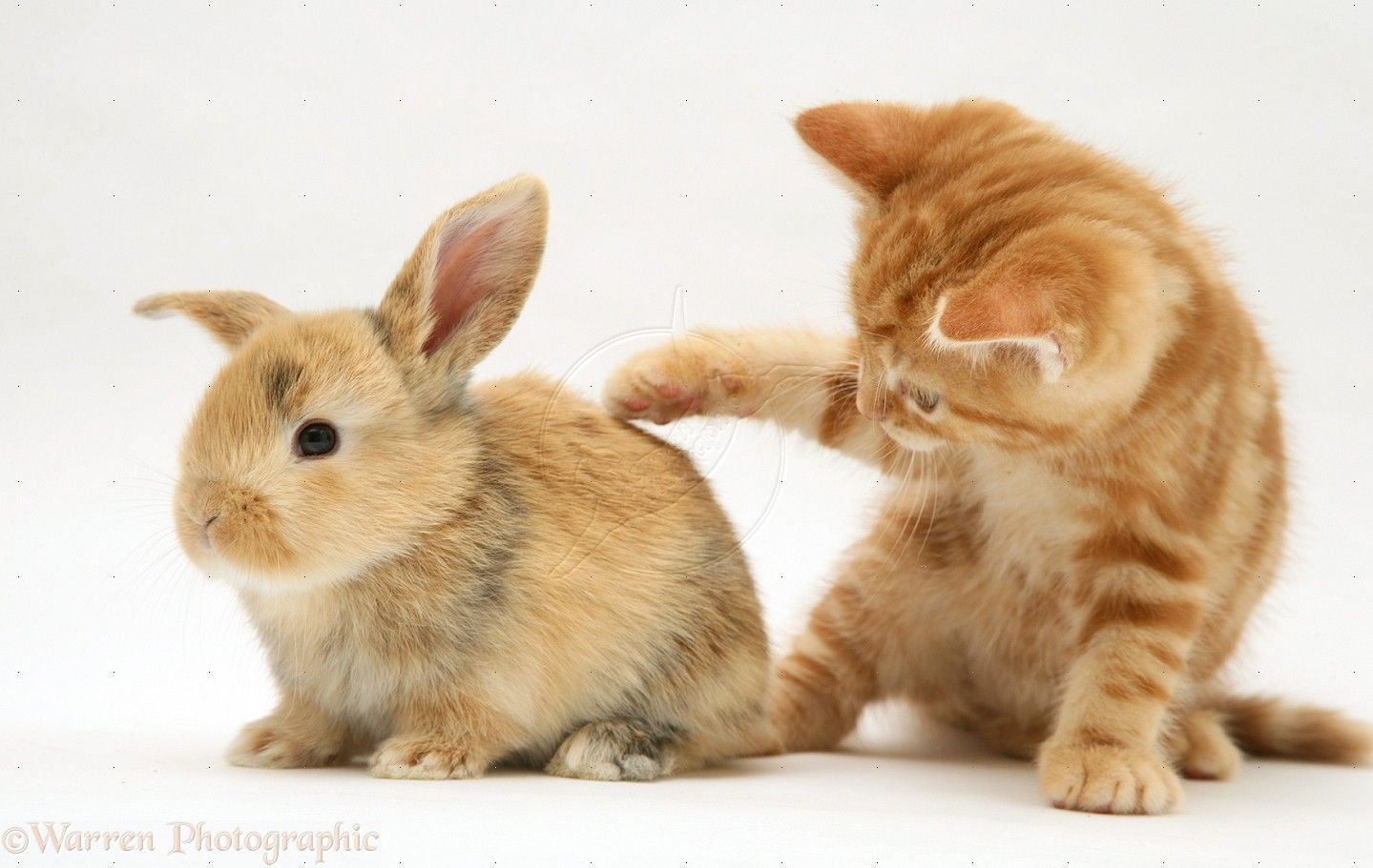 Kittens And Bunnies Wp22577 Red Tabby British Shorthair Kitten And Baby Sandy Lop Rabbit Cute Baby Bunnies Ginger Kitten Cute Animals