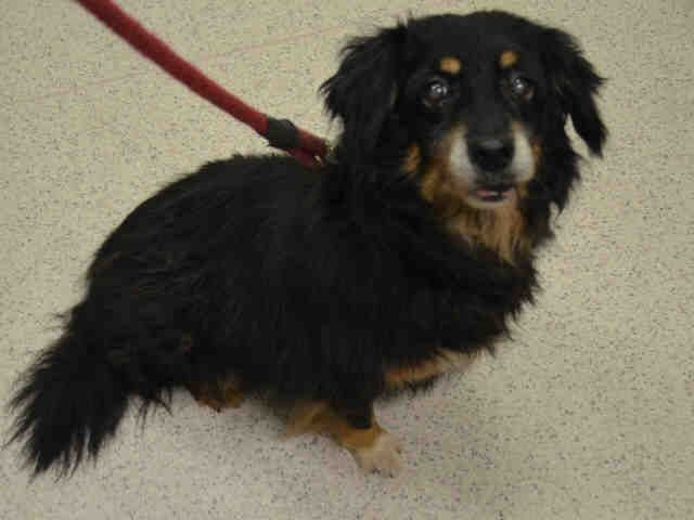 Super Urgent Manhattan Center Polonia A1039880 Spayed Female Black Brown Border Collie Dachshund 13 Yrs Owner S Pets Dogs Up For Adoption Dog Adoption