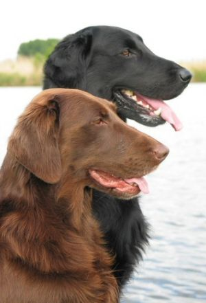 Flatcoated Retrievers Only Come In These Colors We Have A Black