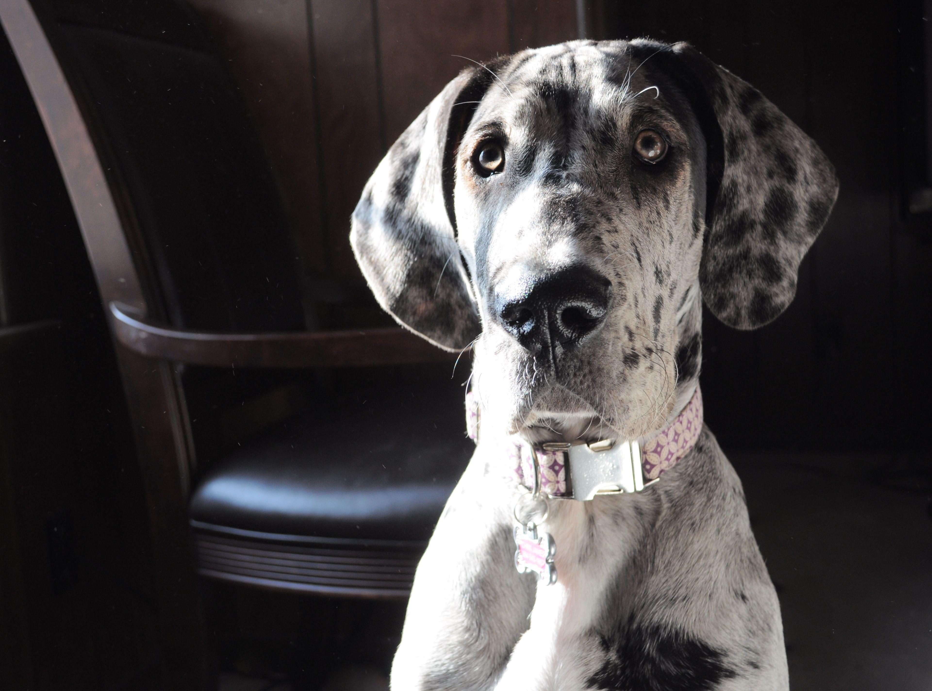 Gracie Great Dane 5 Months Great Dane Rescue Great Dane Dane