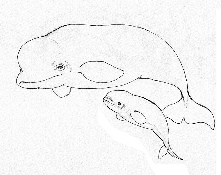 Beluga Whales Whale Coloring Pages Whale Painting Whale Illustration