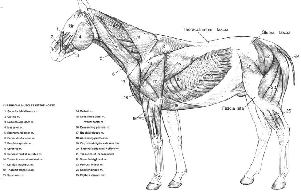 horse anatomy diagram muscles honda p30 ecu wiring whole diagrams