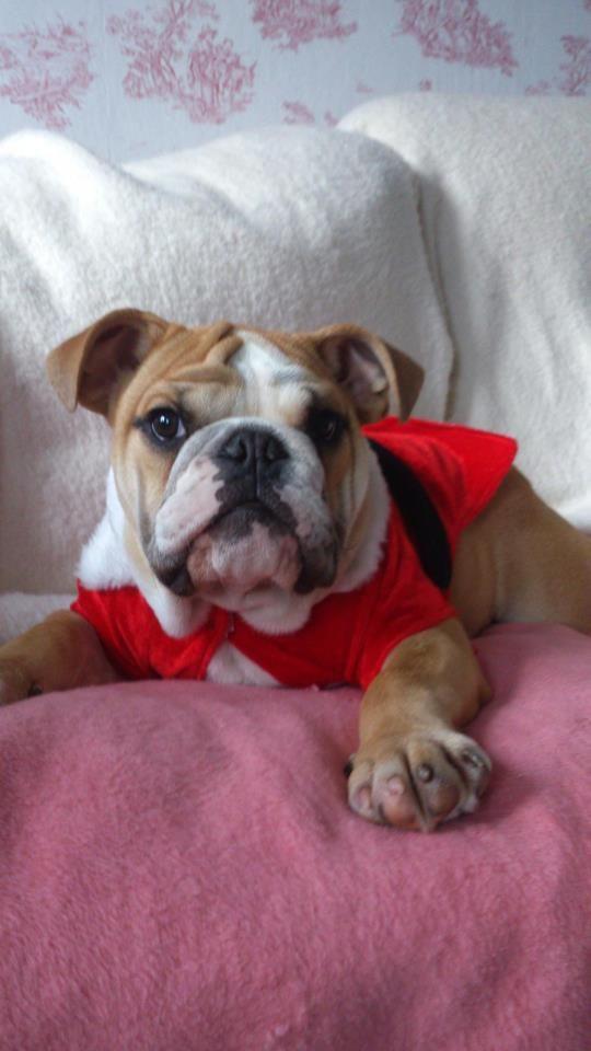 Bulldog Cute Bulldogs Cute Animals Dogs