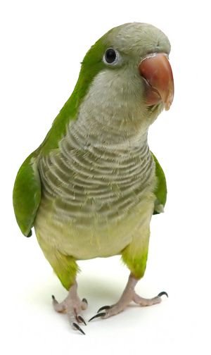 Quaker parrot! I miss Booger. And Sammy... And my obnoxious little Duck. I don't miss the mess and being literally the only who took care of them or being attacked by Duck.. I miss their sweet faces & Booger chattering on in the background & my little baby Sammy.... Stupid ex husband.