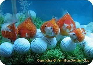 Ping Pong Pearlscale Goldfish Posing With Balls Goldfish Goldfish Species Goldfish Aquarium