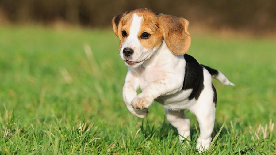 Beagle Dog Breed Information Characteristics Facts And Pictures