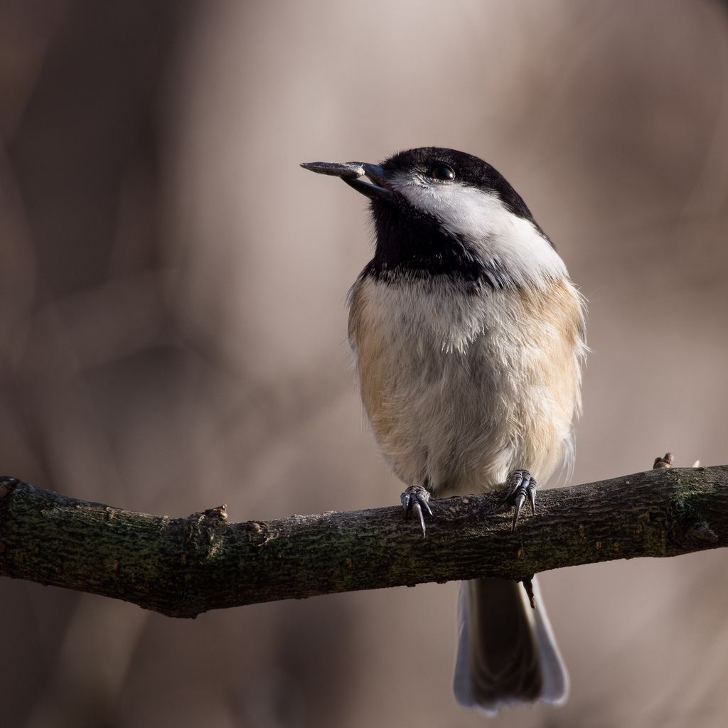 Black Capped Chickadee (Poecile atricapillus) with a single sunflower seed. Shot w/ the Olympus OM-D + mZuiko 75-300mm