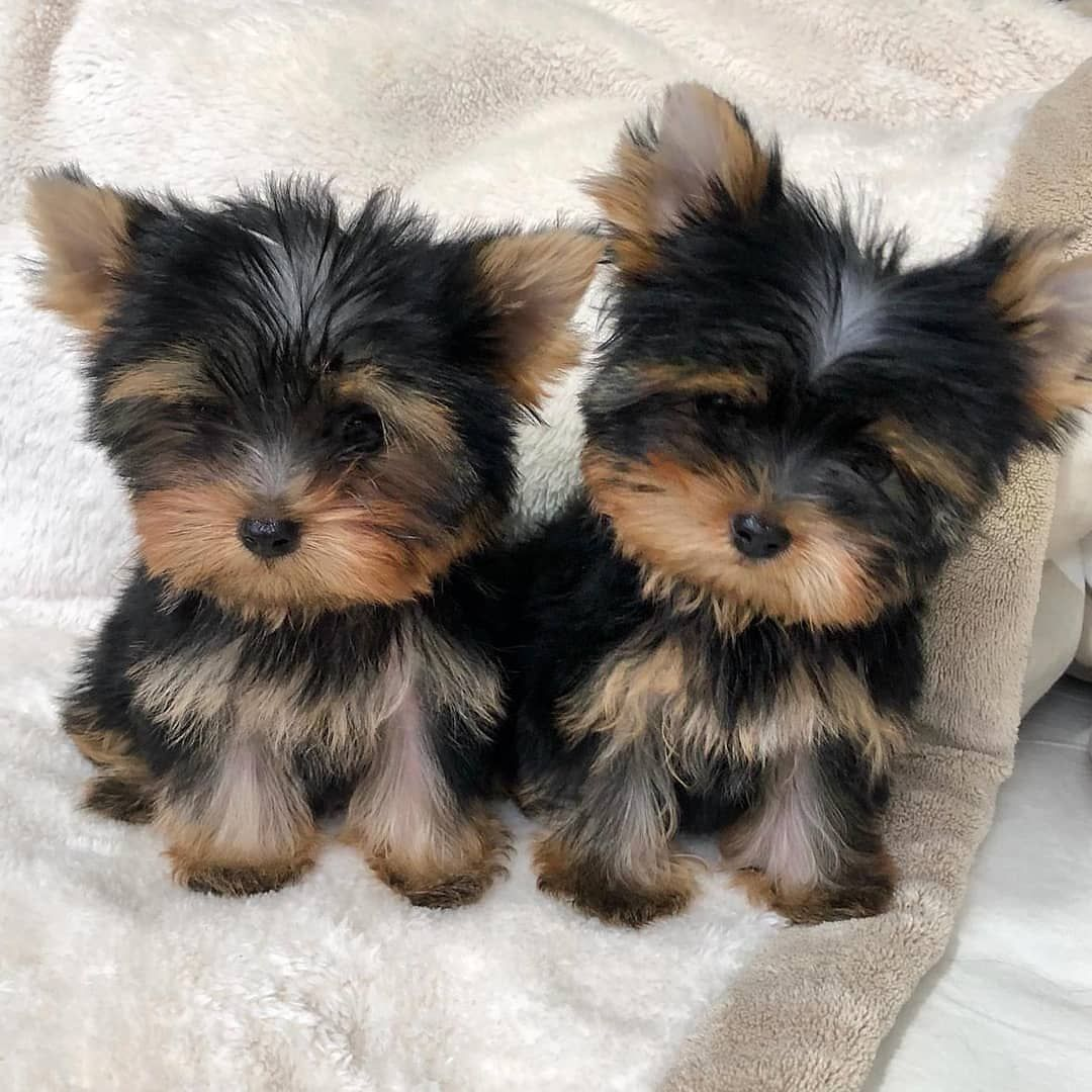 Pin On Yorkshire Terrier Puppy N Dogs