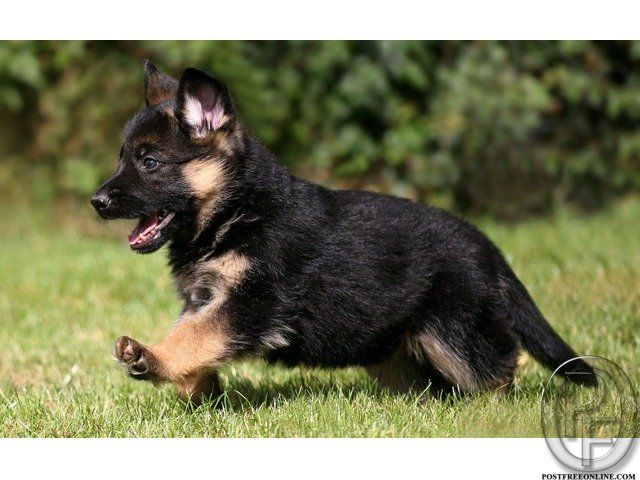 German Shepherd Puppies For Sale Healthy 40 To 45 Days Excellent