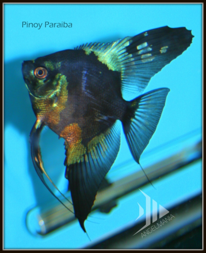 Blue Pinoy Paraiba Angelfish Our Superstars Super Sale On Now Angel Fish Betta Fish Fish