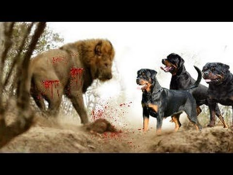 Most Amazing Wild Animals Attack Rottweiler Vs Lion 2017 Lion
