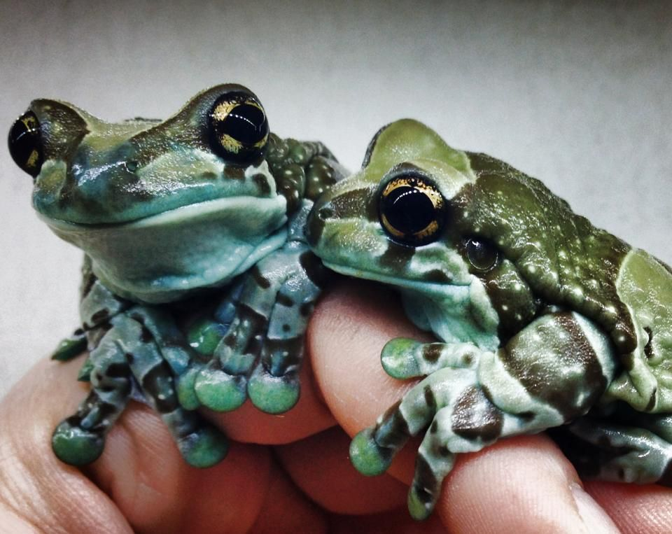 Amazon Milk Frog Trachycephalus resinifictrix (Captive