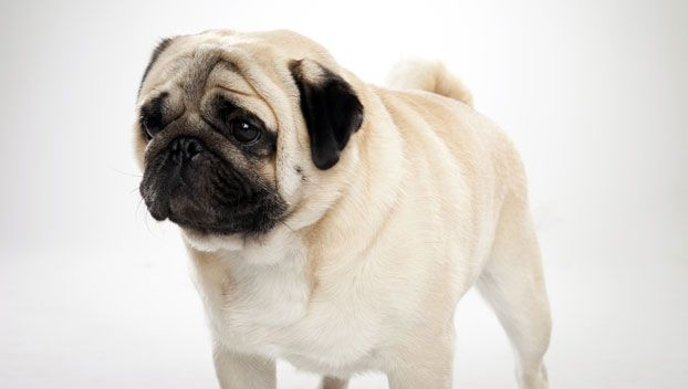Pug Dog Breed Selector Dog Breed Selector Toy Dog Breeds Pugs