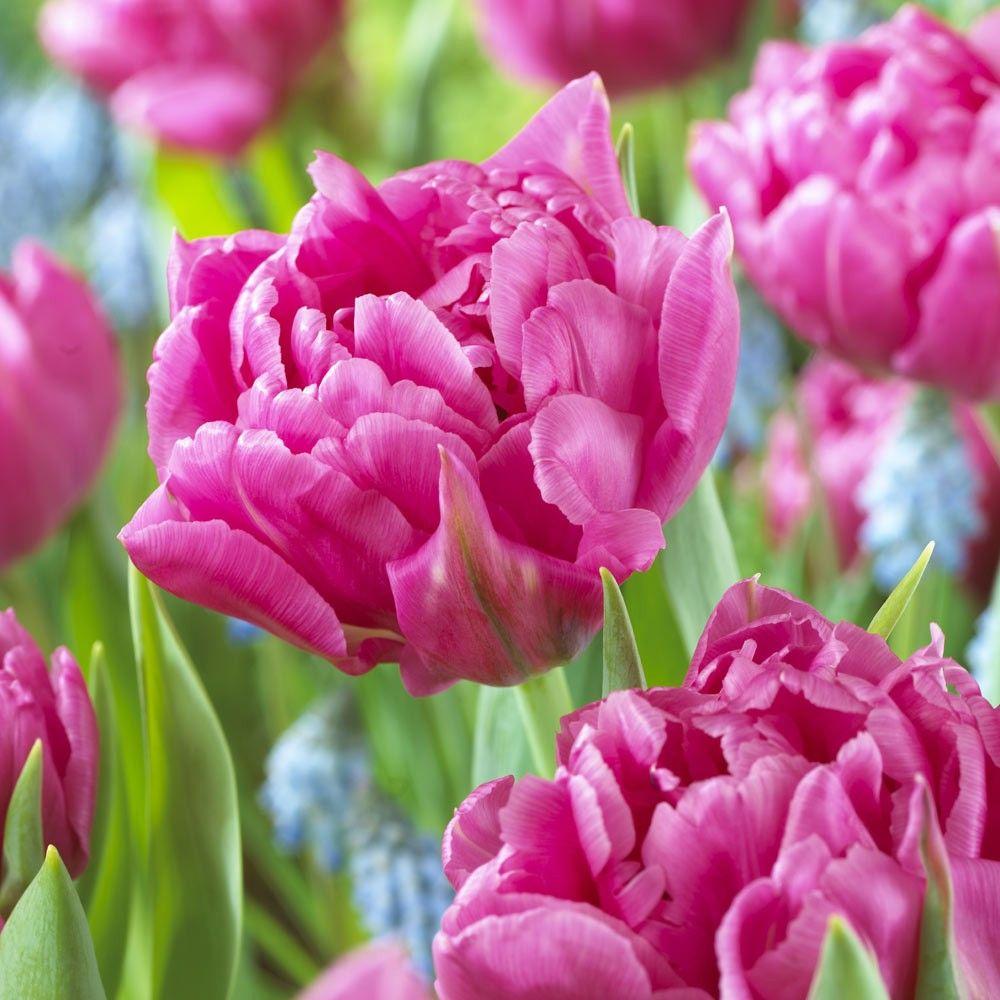 Tulip Dior | Bulb flowers, Tulips, Flowers