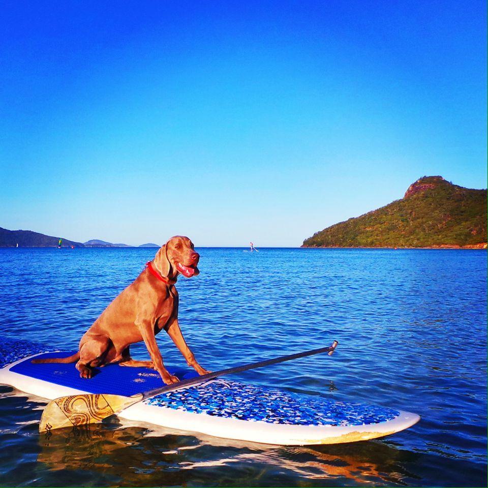 Stand Up Dog Paddling Newcraze Puppy Hamiltonisland Whitsundays Dog Life Dogs Up Dog