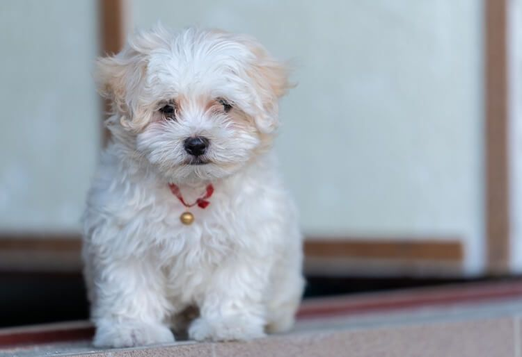79 Maltese Puppy Haircut In 2020 Poodle Mix Maltese Poodle