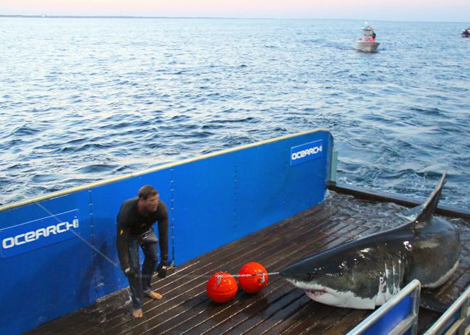 Tracking the Secret Lives of Great White Sharks Sea crab