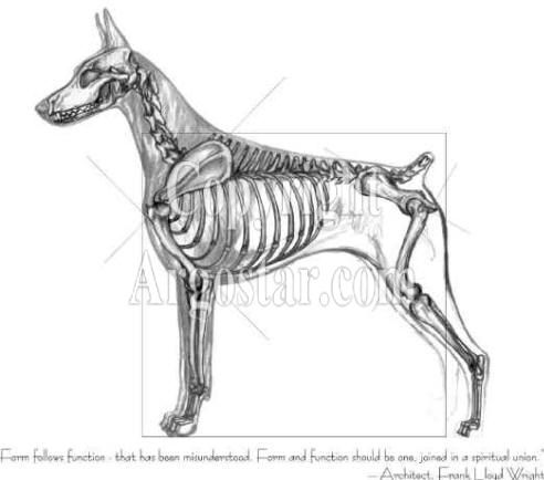 Doberman Anatomy Dog Anatomy Animal Skeletons Doberman Pinscher