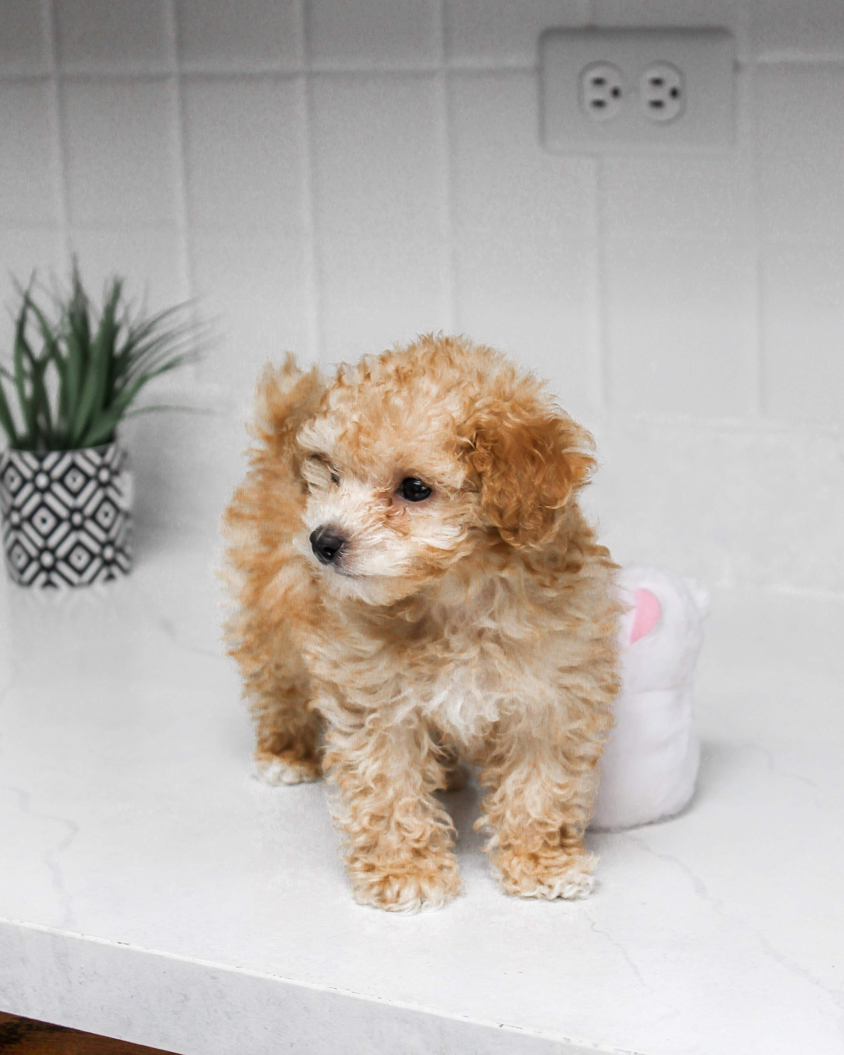 Toy Poodle What Items Do You Need For A Puppy Puppy Kit Www