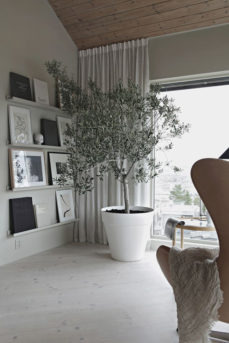 Beautiful Olive Tree In The Living Room In 2019