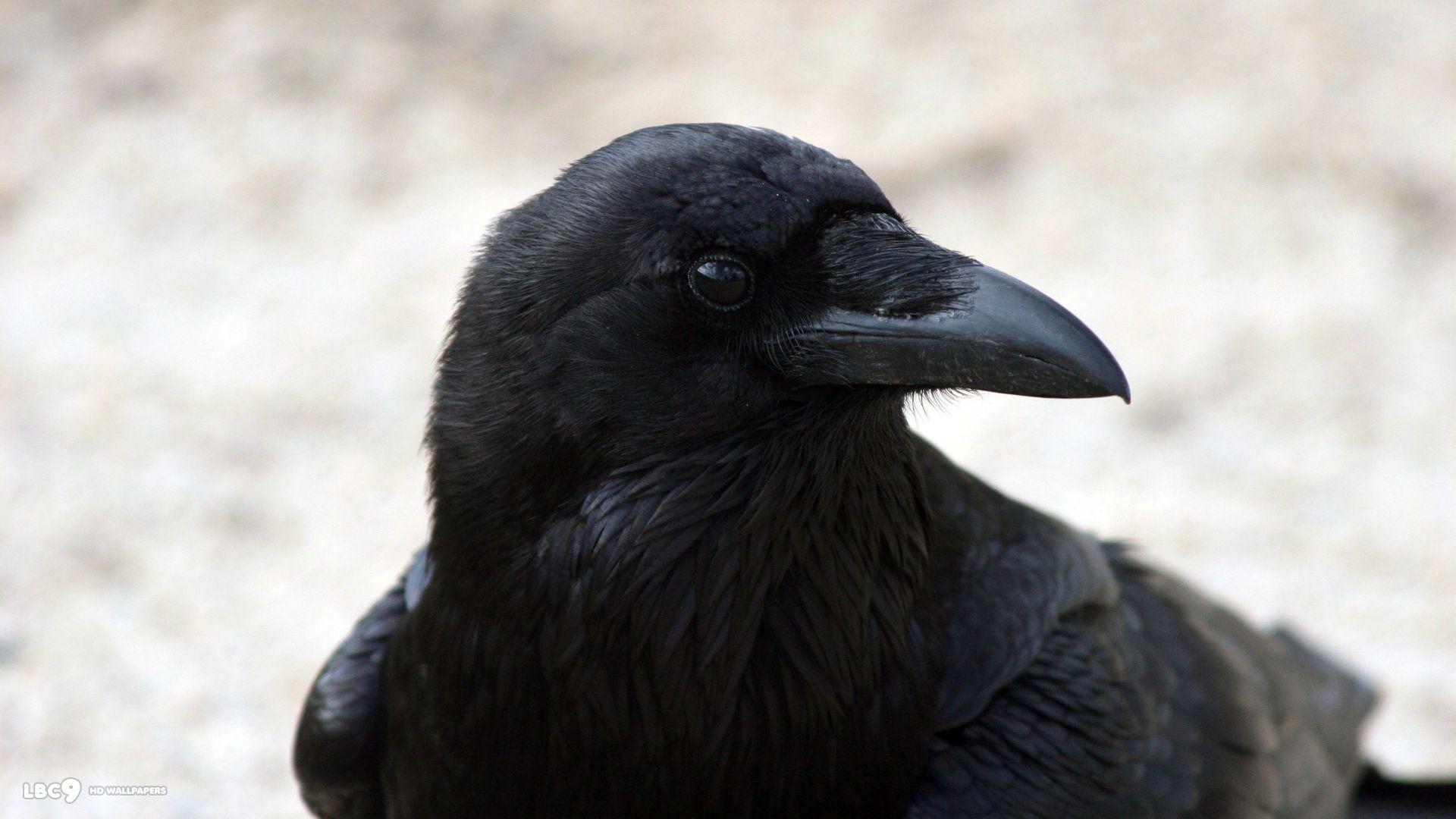 raven wallpaper / birds hd backgrounds 1024×768 Raven