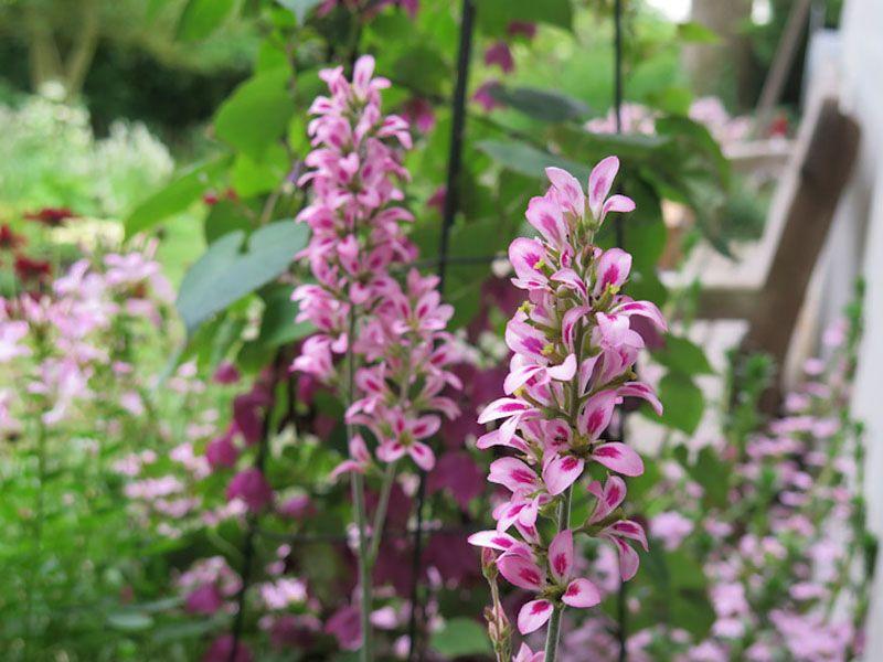 Francoa sonchifolia 2ft wands of flowers hardy perennial sow 2ft wands of flowers hardy perennial sow spring mightylinksfo