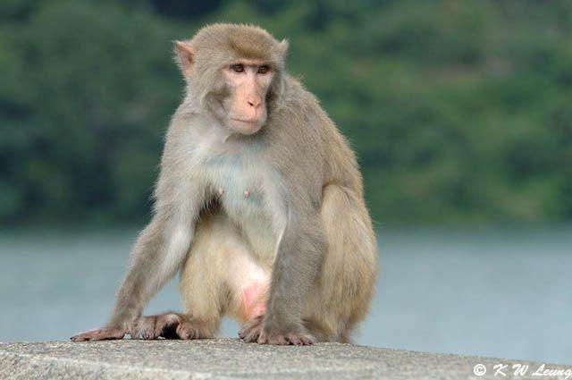 rhesus macaque   Rhesus macaque («íªeµU) 02 photo - KAI-WING LEUNG photos at pbase ...