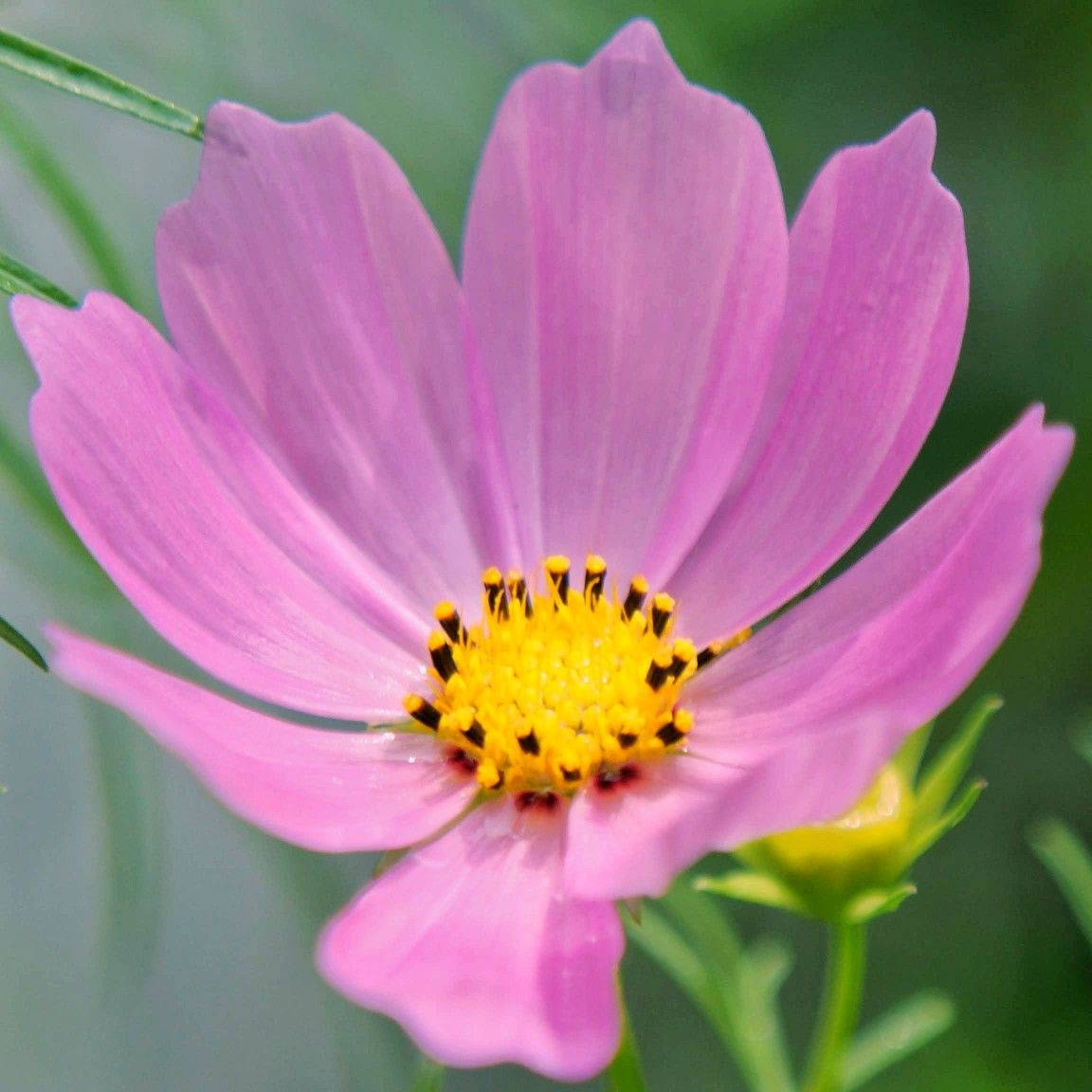 Pink Cosmo Flower In 2020 Flower Lover All Flowers Flowers