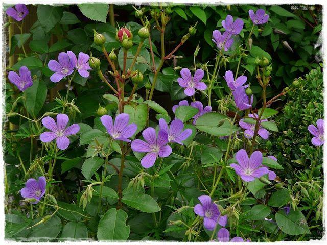 Fuchsienrots Garden - Blog: In June Garden