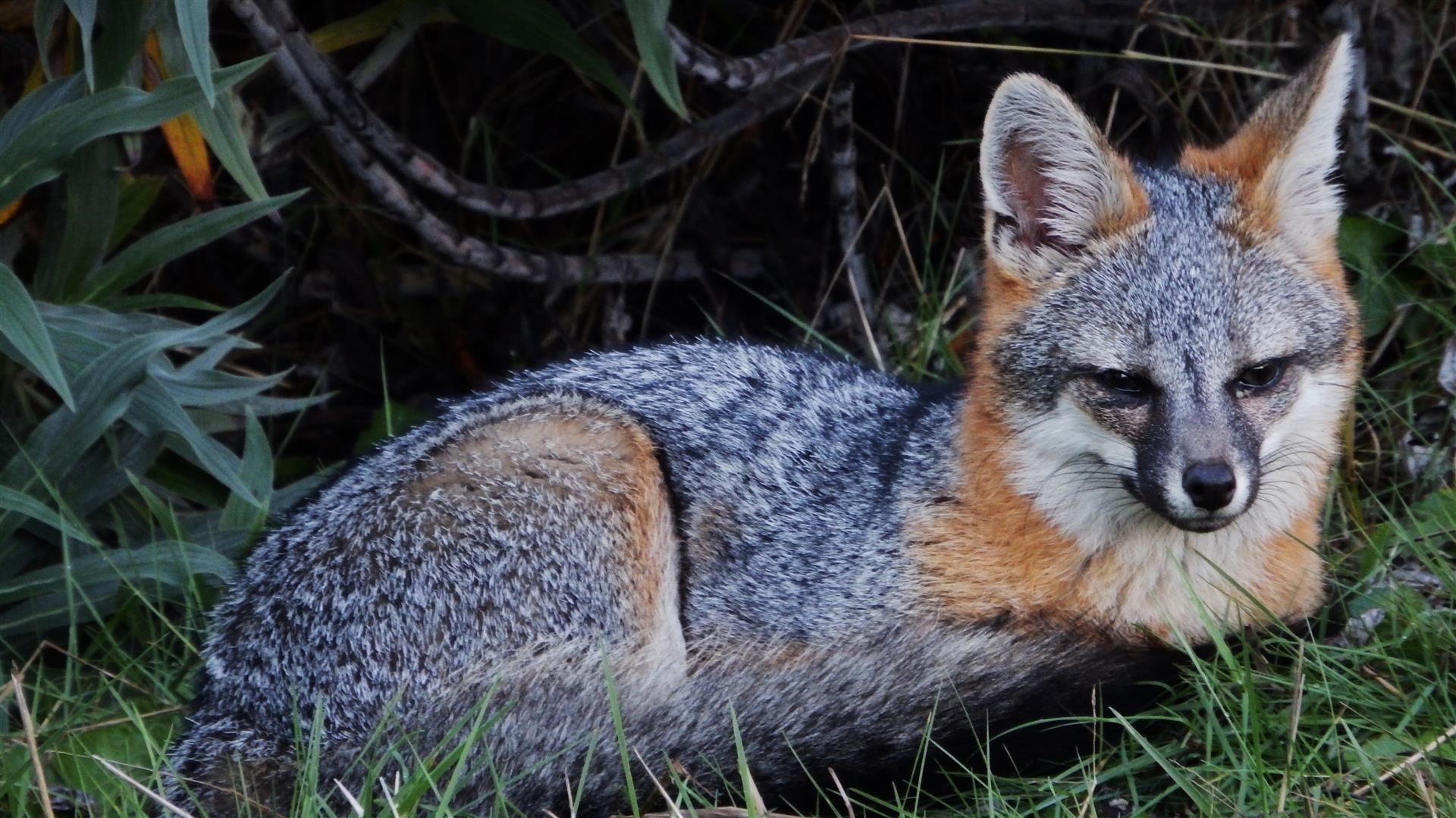 картинки серого лиса тот