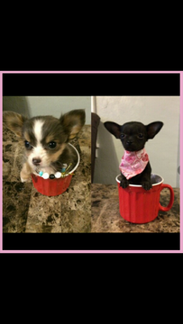 Chihuahua Puppy For Sale In Pittsburgh Pa Adn 26856 On Puppyfinder