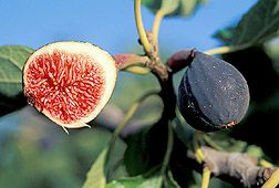 ars news events growing fig trees fig tree fruit bearing trees growing fig trees fig tree