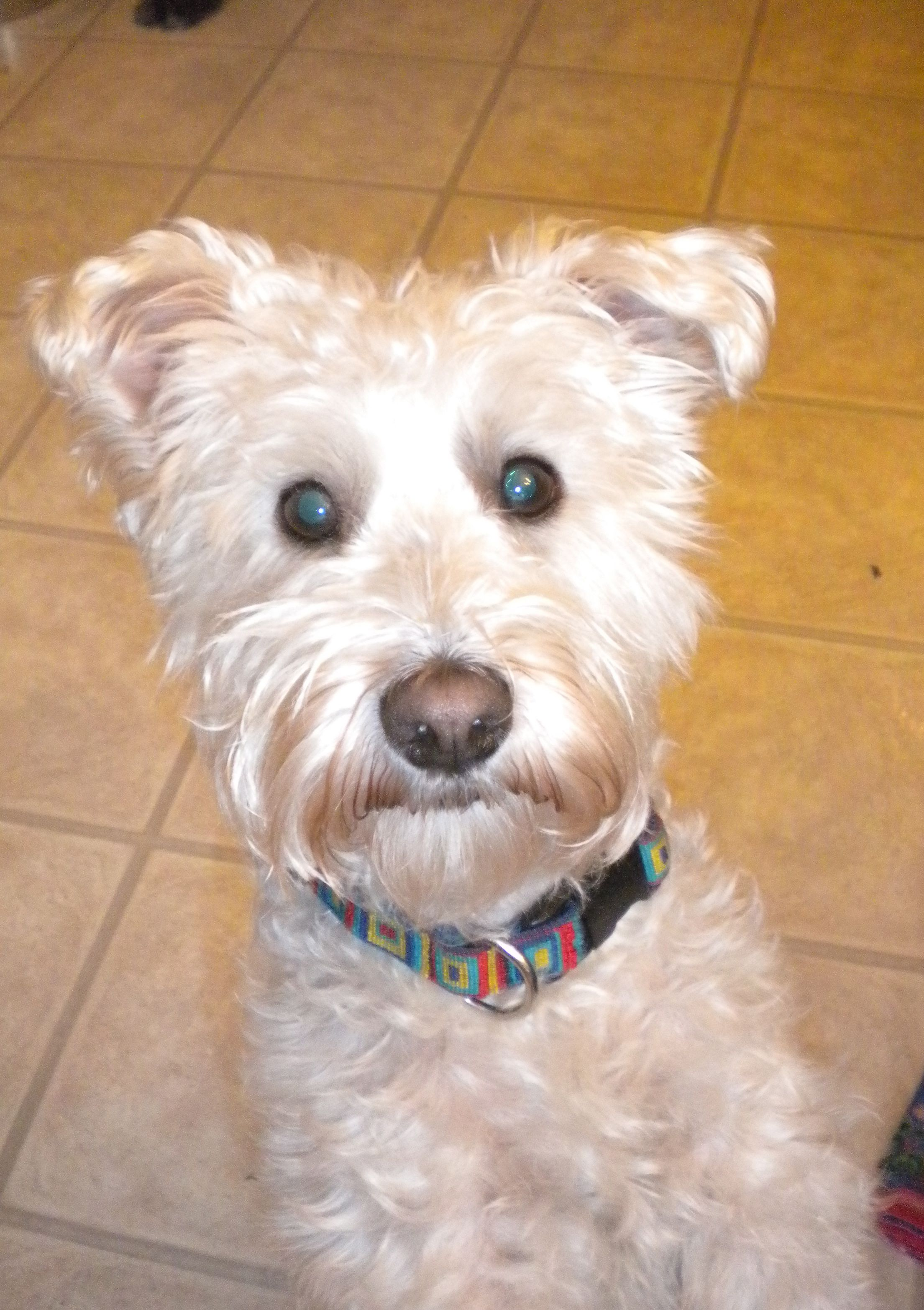This Is Toto My 3 Year Old Schnoodle Schnauzer Poodle Mix I Rescued Him Right After My Freshman Year Of College From A Family Who Didn T Want To Take Care O