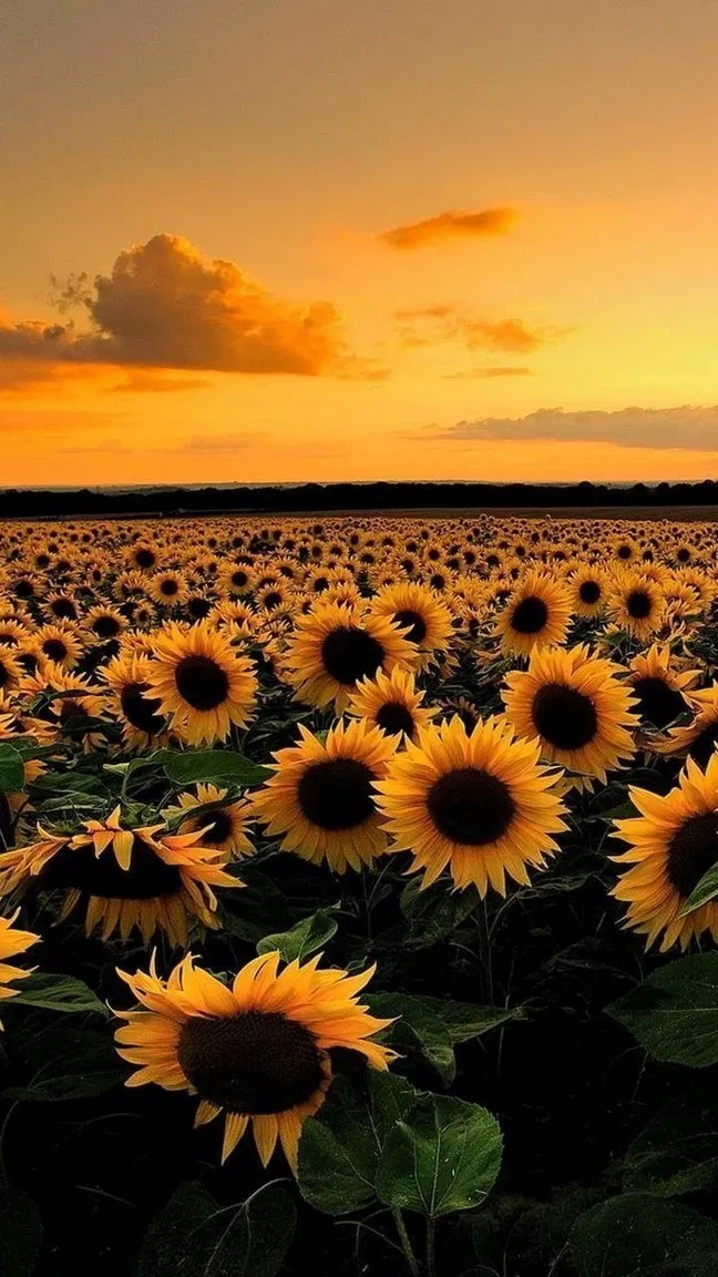 30+ sunflower wallpaper android - #android #background # ...