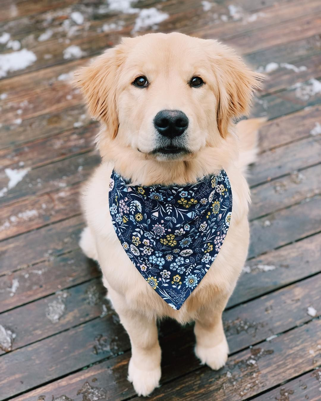 Daisy Dogs Dogs Golden Retriever Golden Retriever