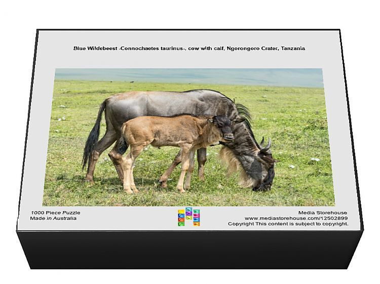 1000 Piece Jigsaw Puzzle. Blue Wildebeest -Connochaetes taurinus-, cow with calf, Ngorongoro Crater, Tanzania. immature, calf, bovid, dam, side by side, wildebeest, safari, newborn, ngorongoro conservation area, gnu, connochaetes taurinus, connochaetes, blue wildebeest, ngorongoro, common wildebeest, white bearded wildebeest, newborn baby, bontebok, damaliscus pygargus, 562941847. Image supplied by Fine Art Storehouse