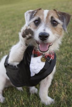 Jack Russell Wedding Google Search Dog Wedding Jack Russell Holistic Dog