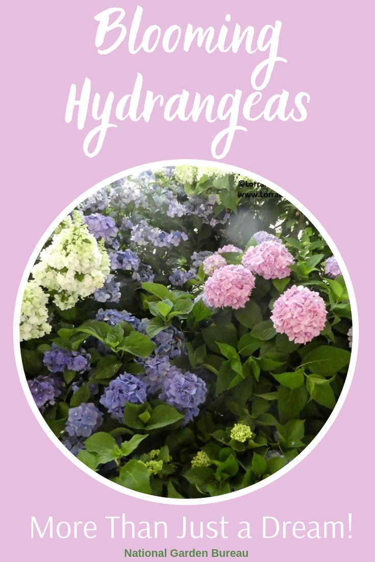 Blooming Hydrangeas Guaranteed Hydrangea Not Blooming Hydrangea Hydrangea Care