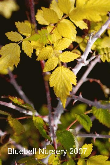 Ornamental raspberry grown for yellow summer foliage and white winter stems. Rubus cockburnianus 'Golden Vale'