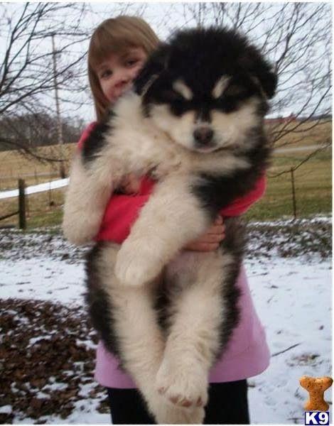 Top 10 Largest But Affectionate Dog Breeds Giant Alaskan