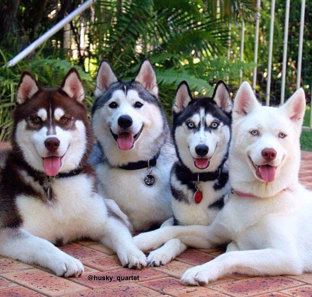 Siberian Husky Outgoing And Cheeky Husky Dogs Husky Puppies