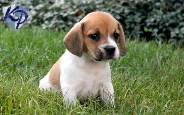 This Is A Puppy Beabull Beagle And Bulldog Mix Adorable
