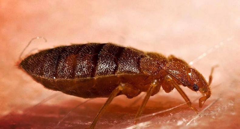 Trying to Identify Where Do Bed Bugs Come From? Bed bugs