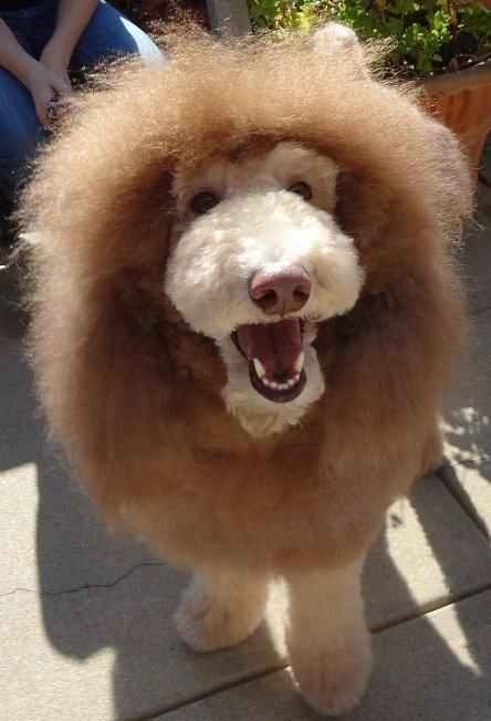 Toy poodle cut and Doodle cut | poodle clips | Caniche y Lindo