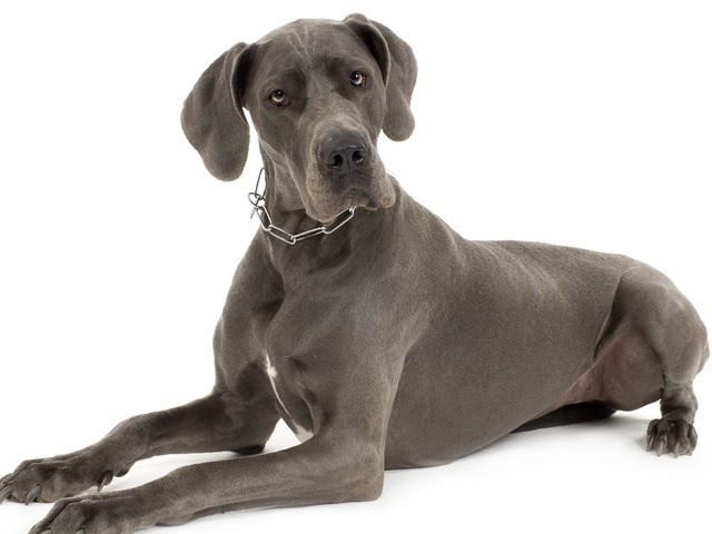 What Kind Of Dog Should You Get Great Dane Facts Dogs What