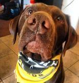 About Us - Our Mascots  Boston, Chocolate Lab  #Mascot #FamilyInnovators #ChocolateLab #Dog #Boston #ScrubOnTheRun